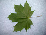 Photo of a Maple Tree leaf